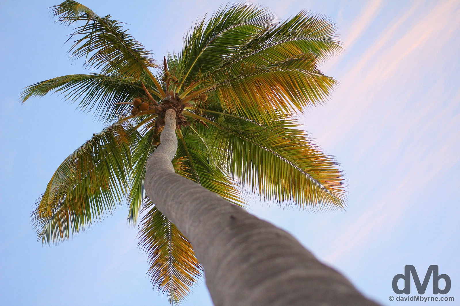 A coconut palm on Bavaro Beach, Punta Cana, Dominican Republic. May 28. 2015.