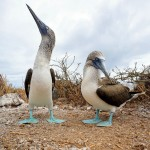 A pair of blue-footed boobies on Isla Seymour Norte, Galapagos, Ecuador. July 18, 2015.
