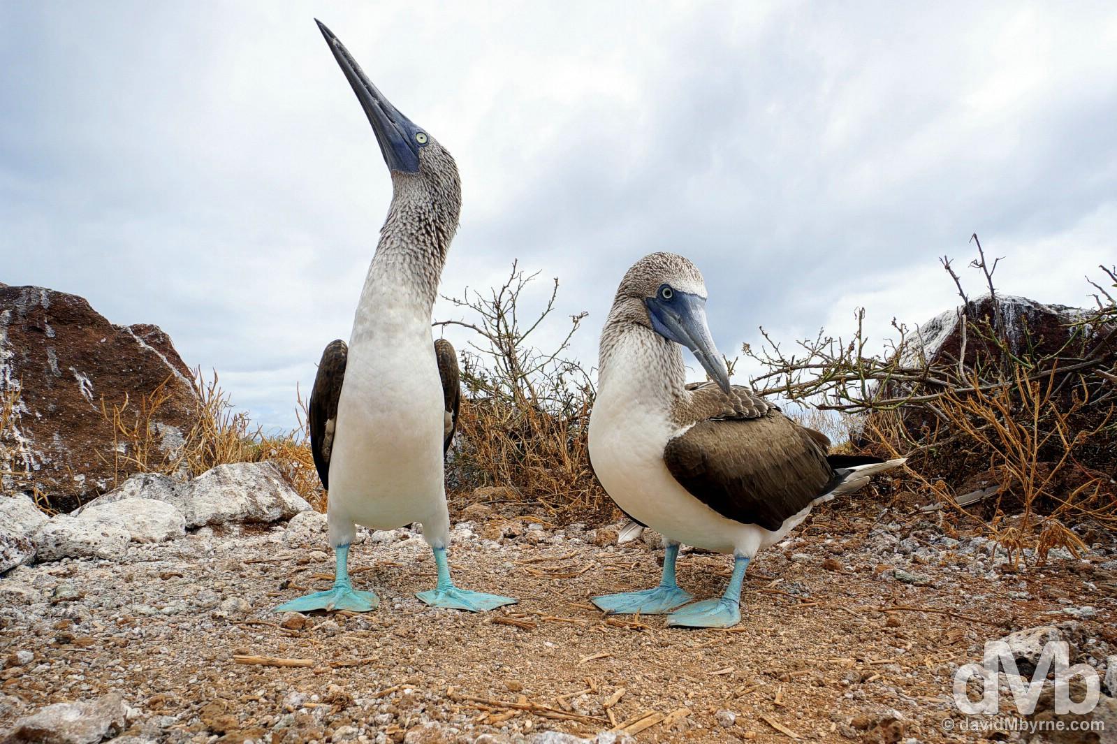A pair of blue-footed boobies on Isla Seymour Norte, Galapagos, Ecuador. July 18, 2015.
