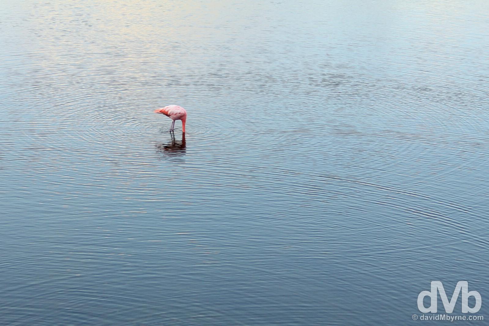 A Flamingo in a pond on Isla Isabela, Galapagos, Ecuador. July 19, 2015.