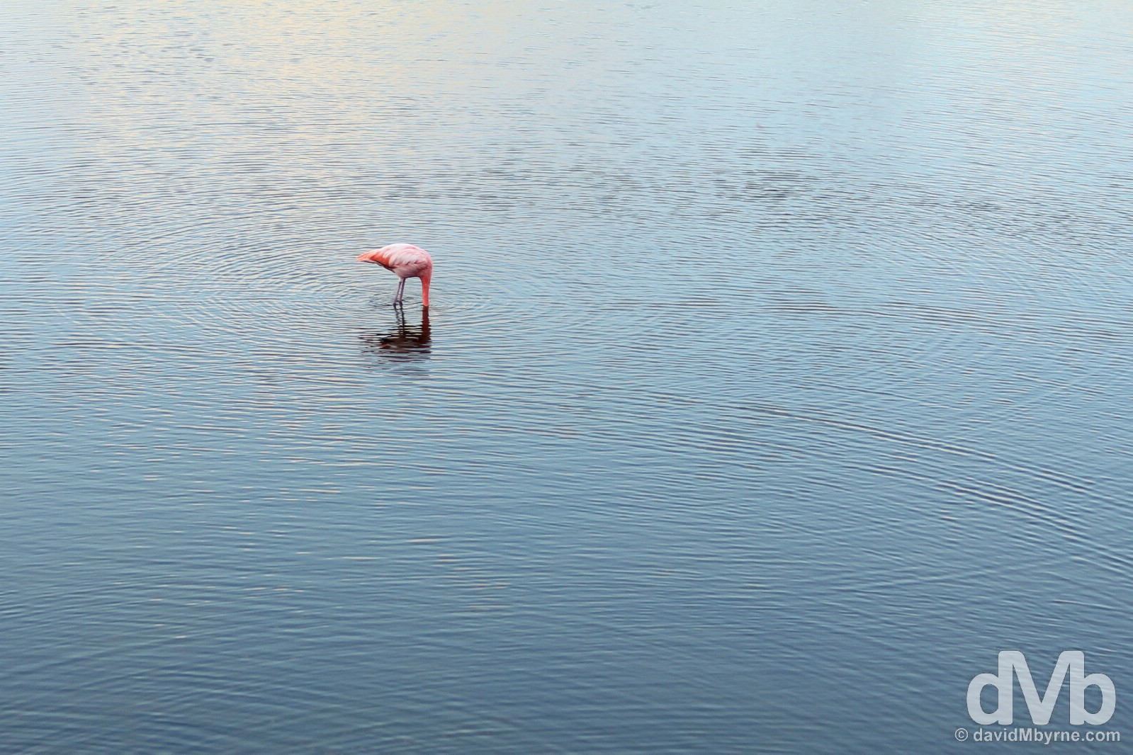 A Flamingo in a pond on Isla Isabela, Galapagos, Ecuador. July 19, 2015.