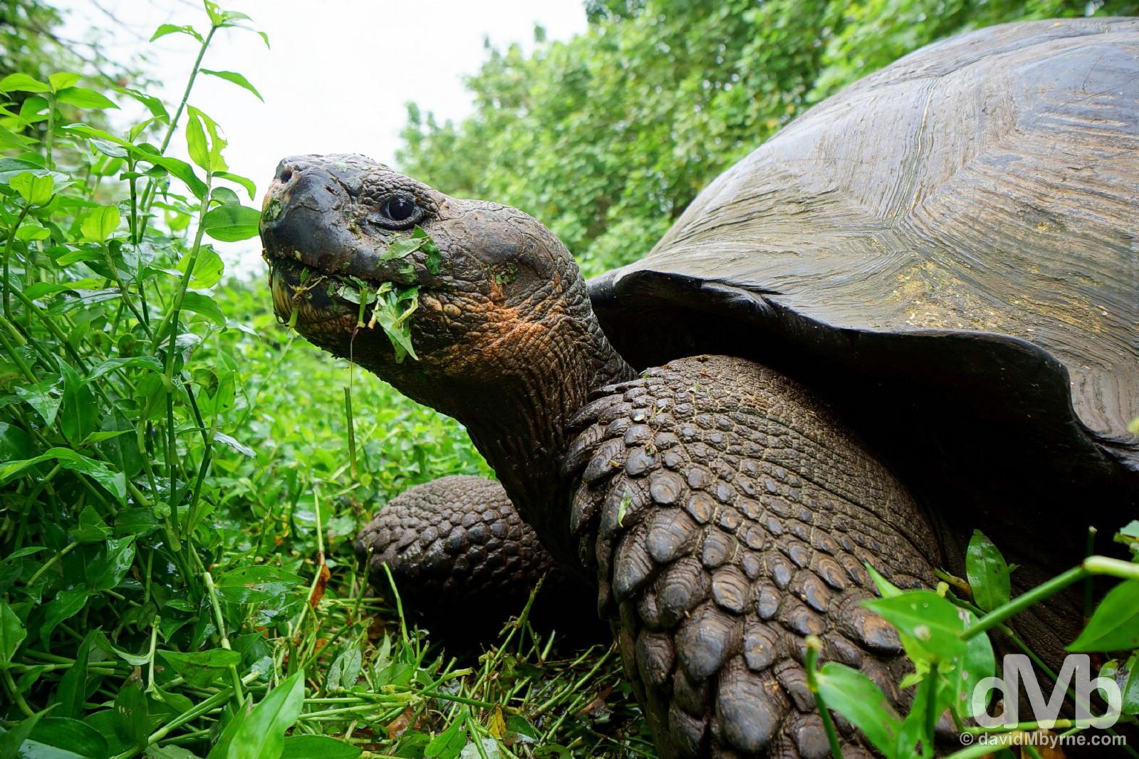 A Giant Tortoise feeding. Rancho Primicias, Isla Santa Cruz, Galapagos, Ecuador. July 17, 2015.