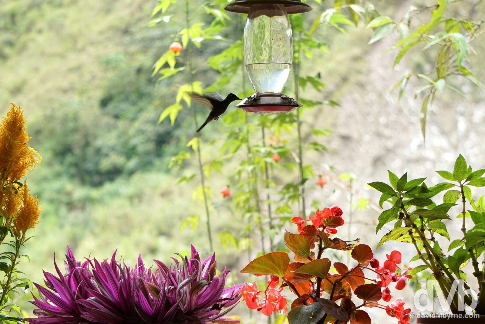 A hummingbird near the base of the Manto de la Novia (Bride's Veil) waterfall in Pastaza Valley, Ecuador. July 9, 2015.
