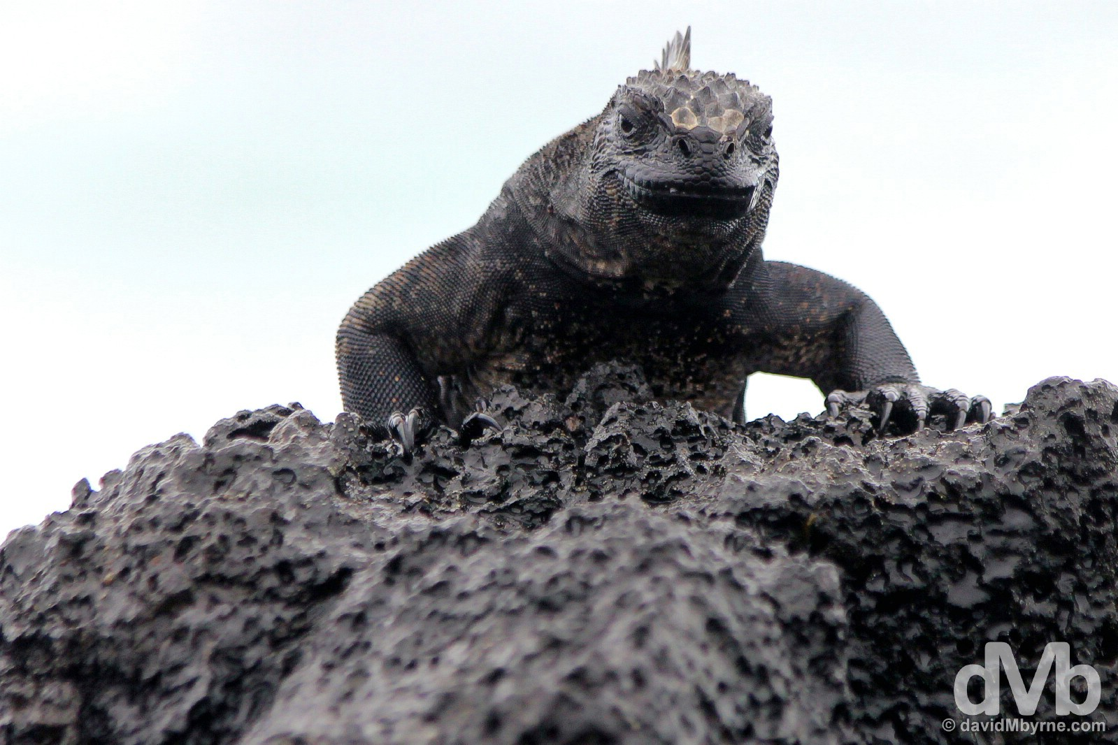 A Marine Iguana outside Puerto Ayora on Isla Santa Cruz, Galapagos, Ecuador. July 16, 2015.