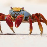 A Sally Lightfoot Crab on Playa Las Bachas, Isla Santa Cruz, Galapagos, Ecuador. July 18, 2015.