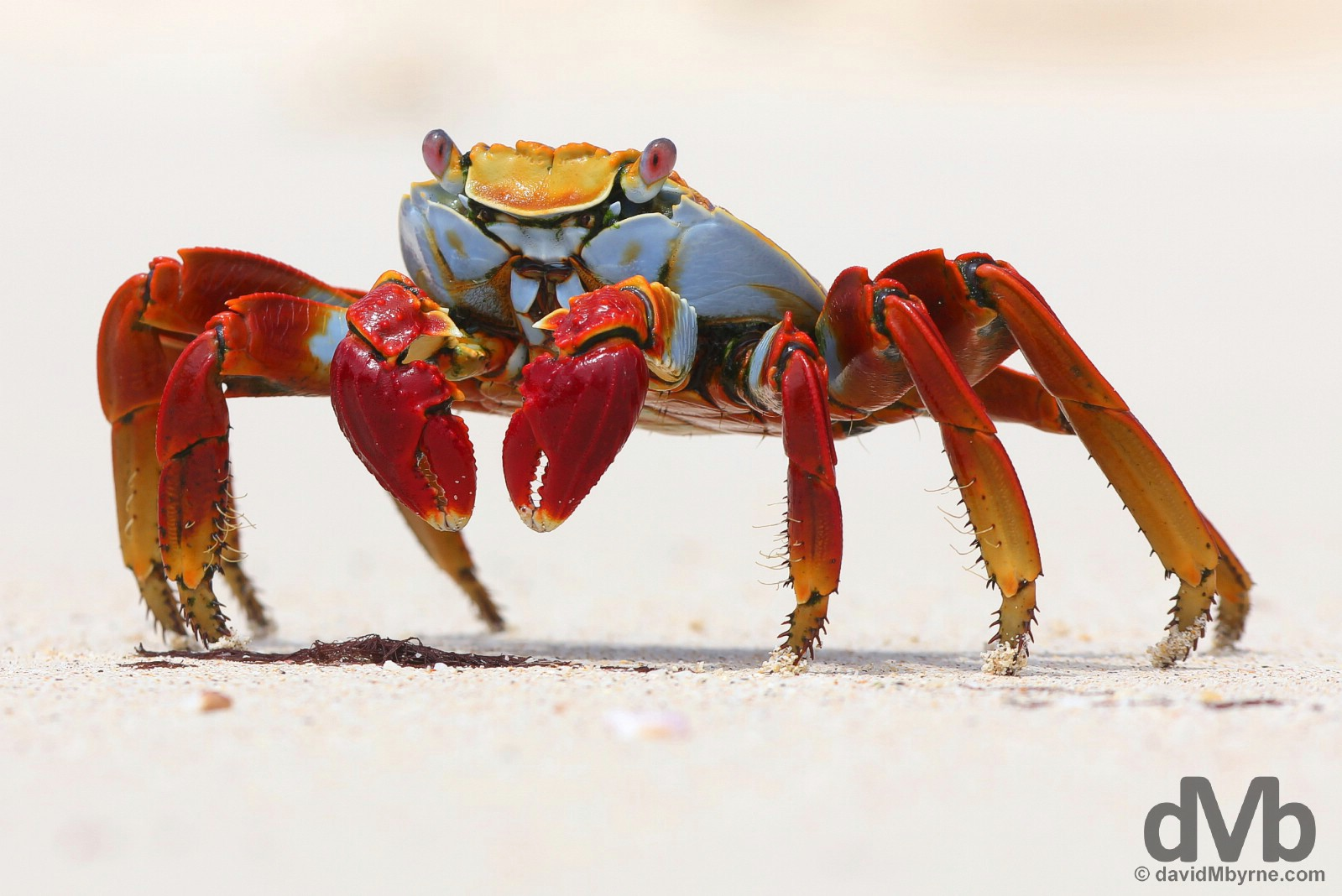 A Sally Lightfoot Crab on Playa Las Bachas, Isla Santa Cruz, Galapagos, Ecuador. July 18, 2015.