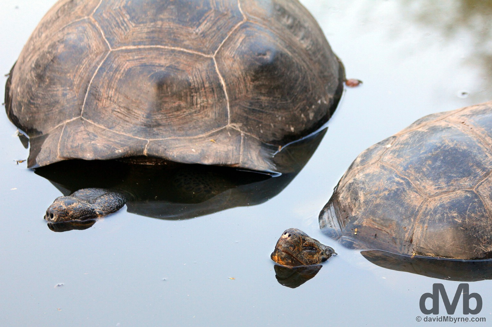 Giant Tortoises in a pool in the Tortoise Breeding Centre on Isla Isabela, Galapagos, Ecuador. July 19, 2015.