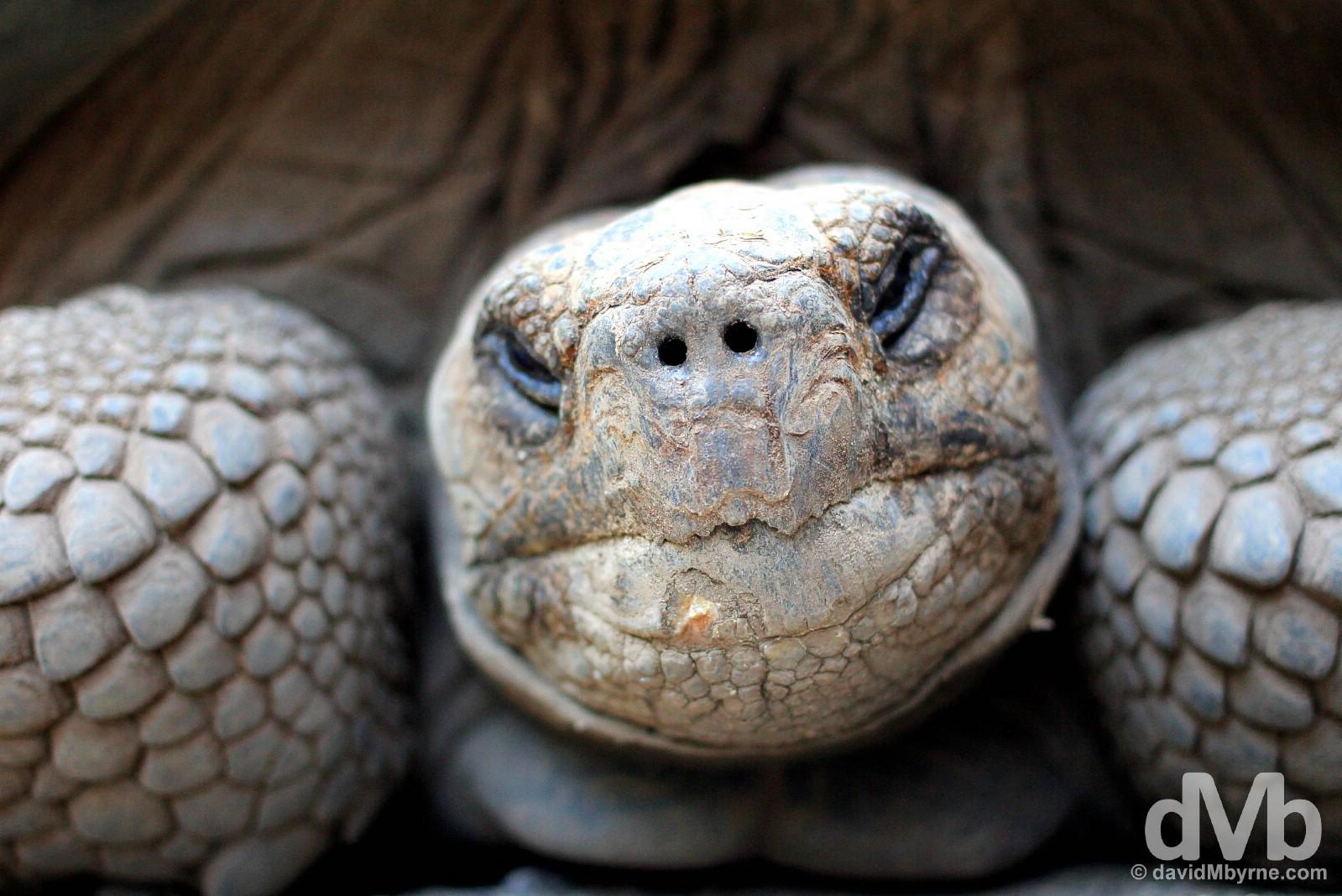 A resident tortoise in the Tortoise Breeding Centre on Isla Isabela, Galapagos, Ecuador. July 19, 2015.