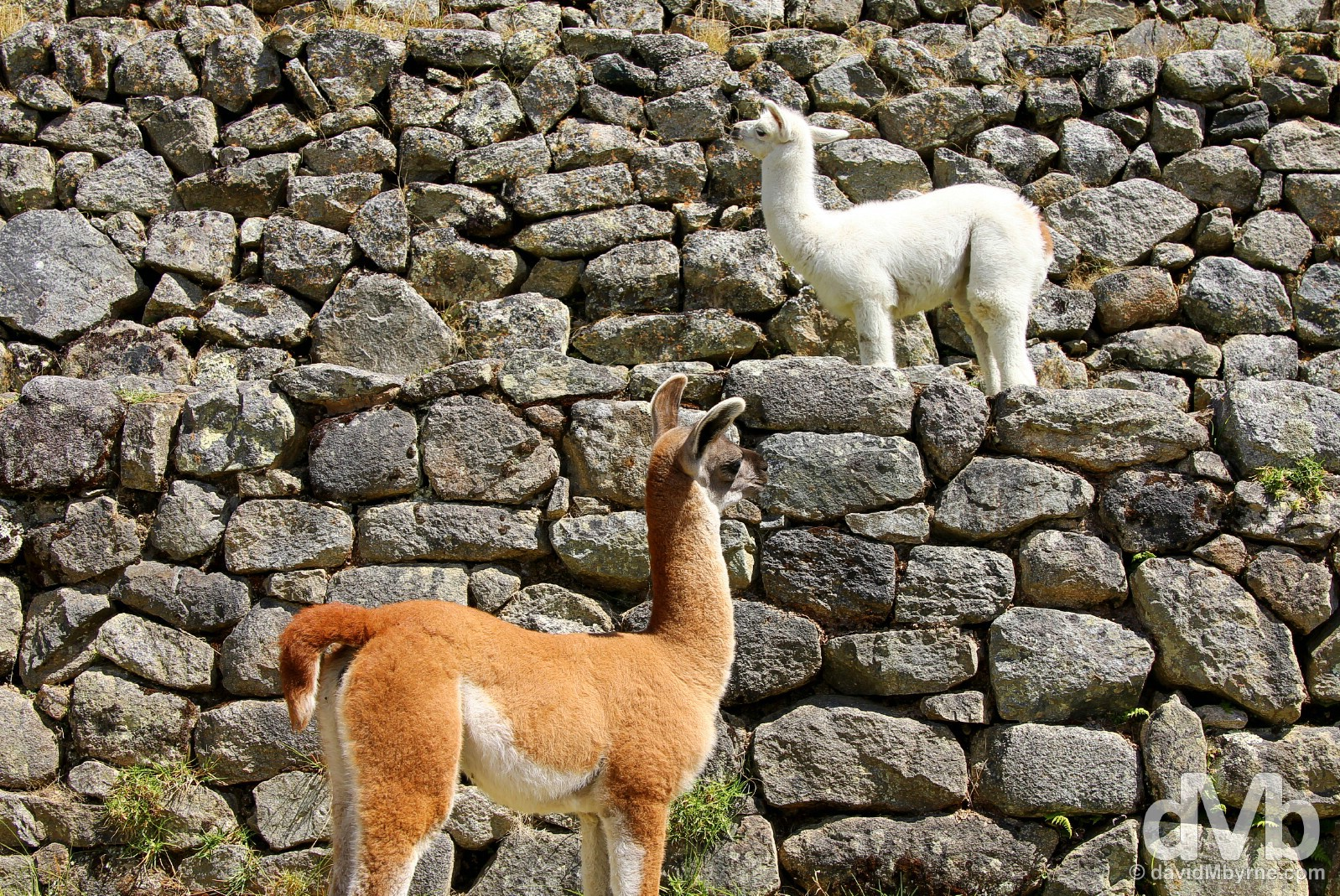 Baby llamas on the terraces of Machu Picchu, Peru. August 15, 2015.
