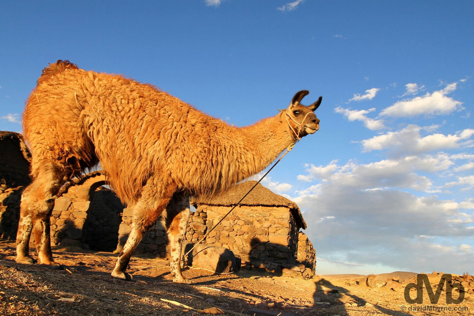 A llama on the shores of Lake Titicaca, Peru. August 19, 2015.