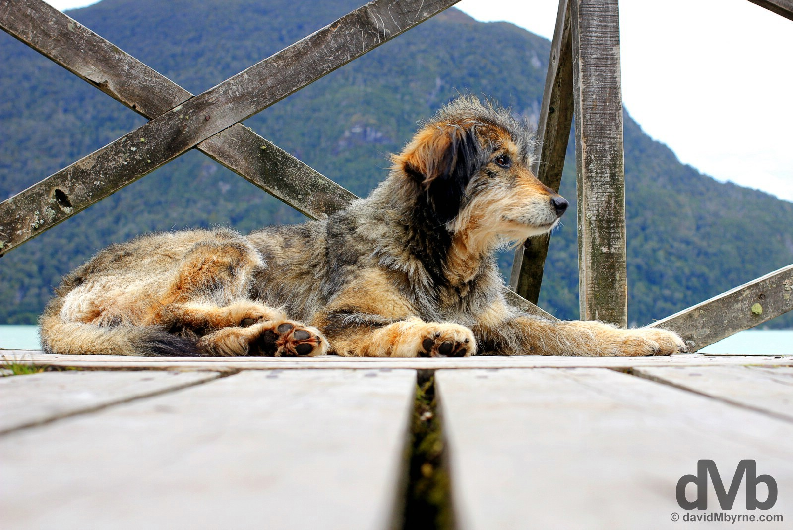 A shaggy dog resting on the boardwalks of Caleta Tortel in Aysen, Chile. October 29, 2015.