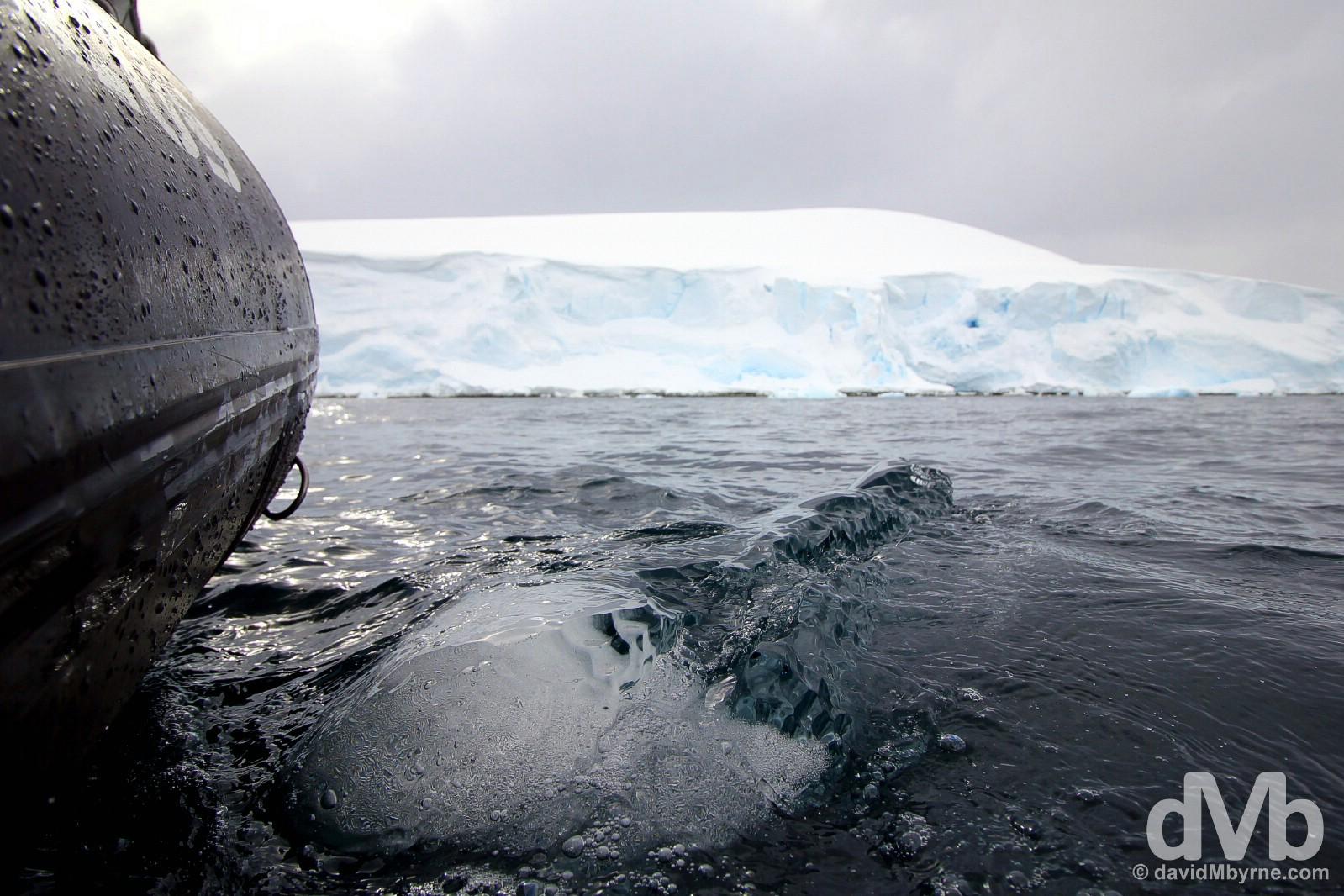 A growler in the waters off Danco Island, Antarctic Peninsula. November 30, 2015.
