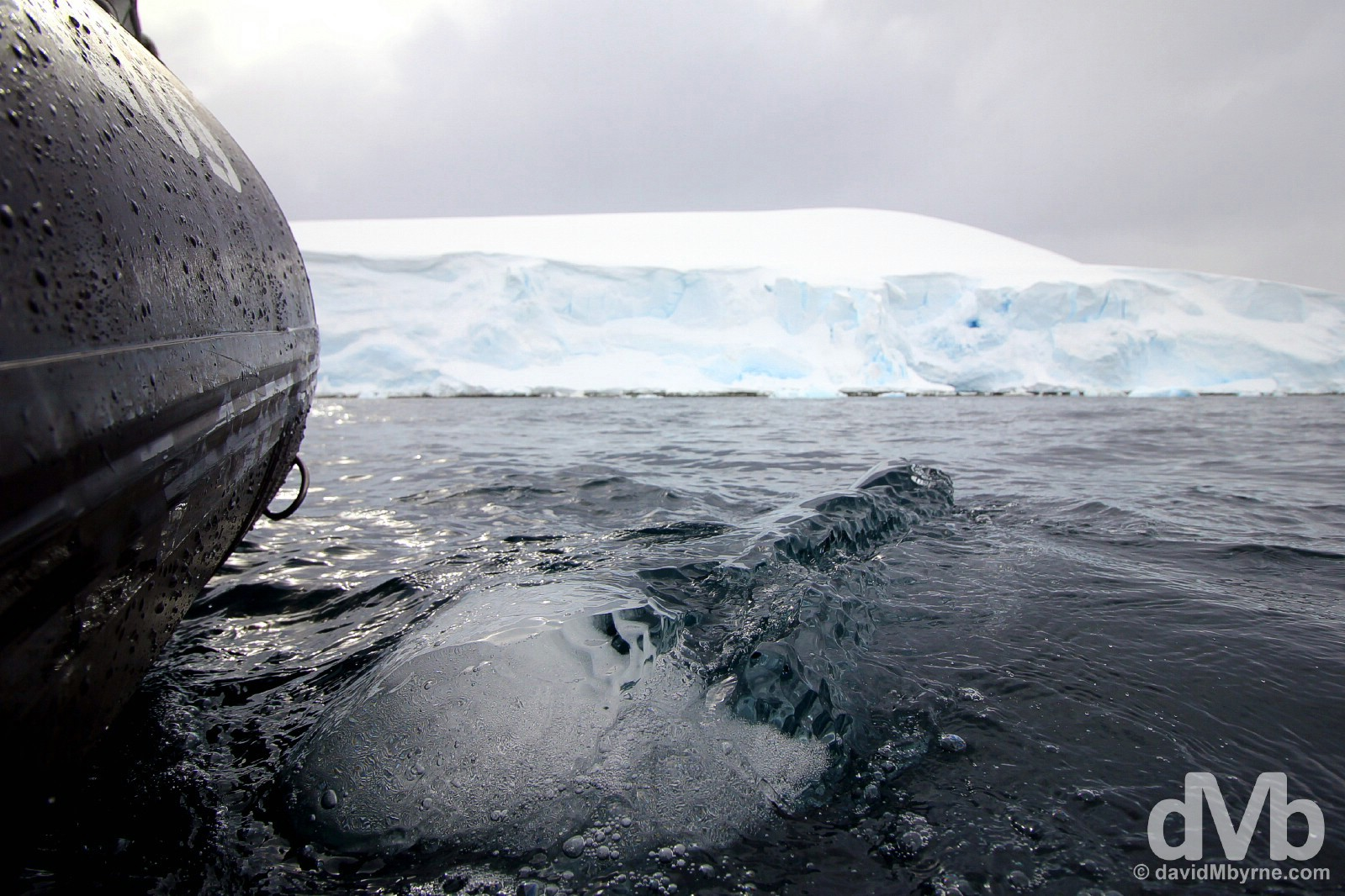 A growler in the waters off Danco Island, Antarctic Peninsula. November 30, 2015.