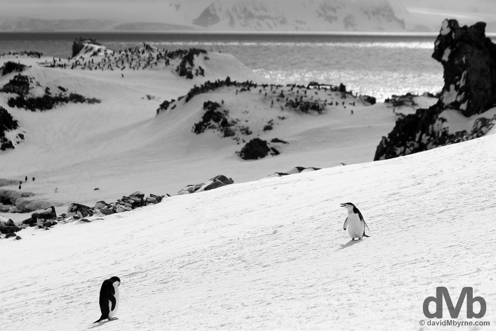 Chinstrap penguins on Half Moon Island, South Shetland Islands, Antarctica. November 29, 2015.
