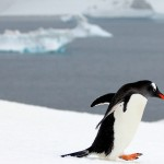 A Gentoo penguin on Barrientos Island of the Aitcho Island group of the South Shetland Islands, Antarctica. November 28, 2015.