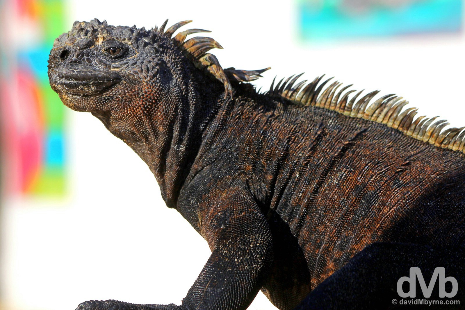 A Marine Iguana basking in the sun on a beach outside Puerto Villamil, Isla Isabela, Galapagos Islands, Ecuador. July 19, 2015.