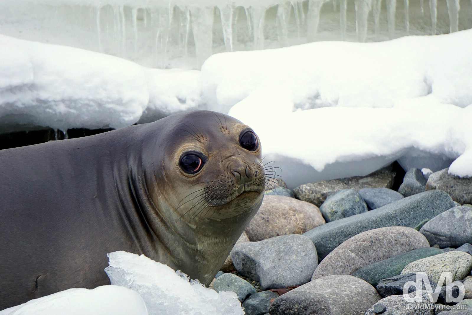 A baby Elephant Seal on Cuverville Island, Antarctic Peninsula. December 1, 2015.