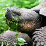 A Giant Tortoise feeding at Rancho Primicias, Isla Santa Cruz, Galapagos, Ecuador. July 17, 2015.