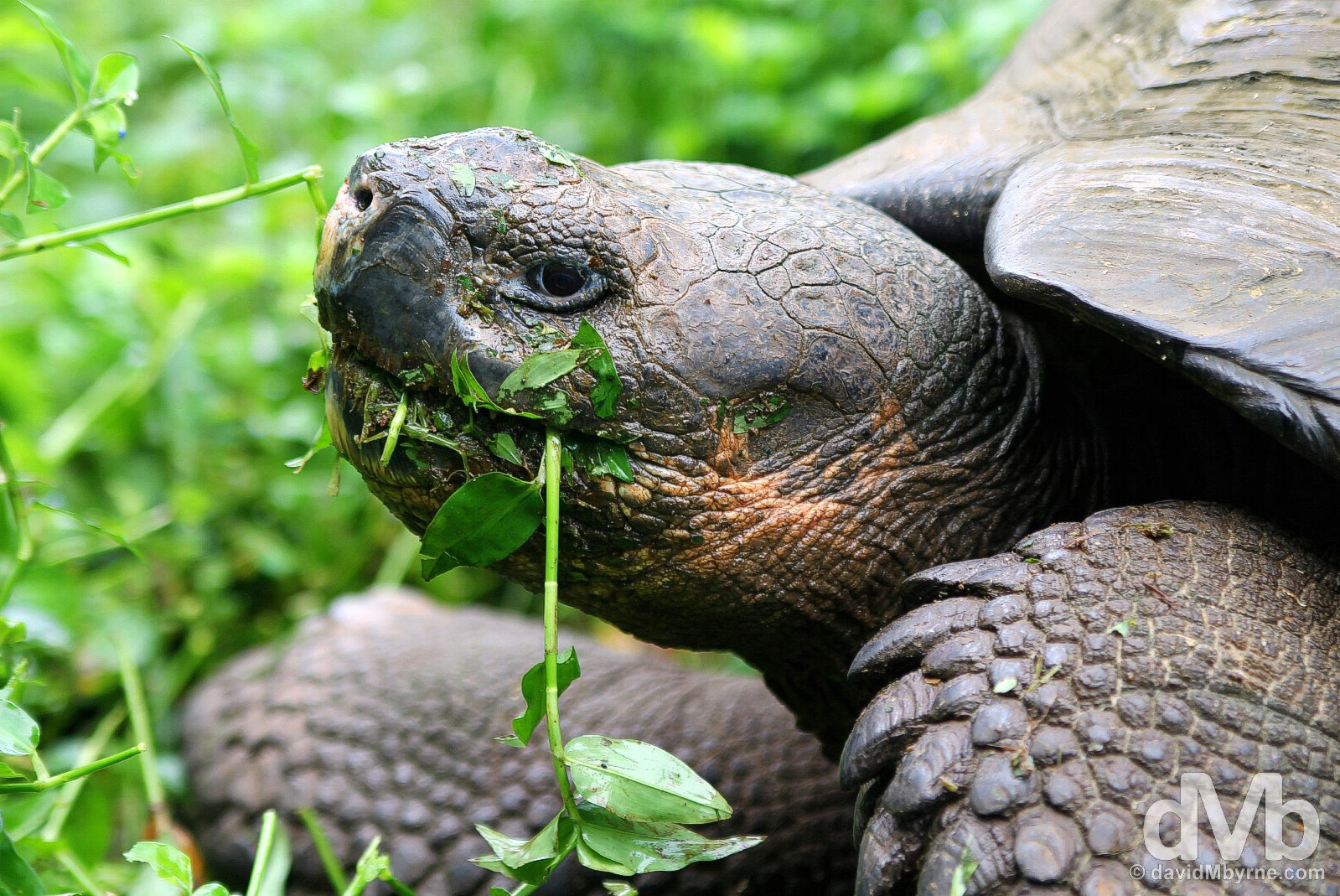 A Giant Tortoise feeding at Rancho Primicias, Isla Santa Cruz, Galapagos, Ecuador. July 17, 2015.