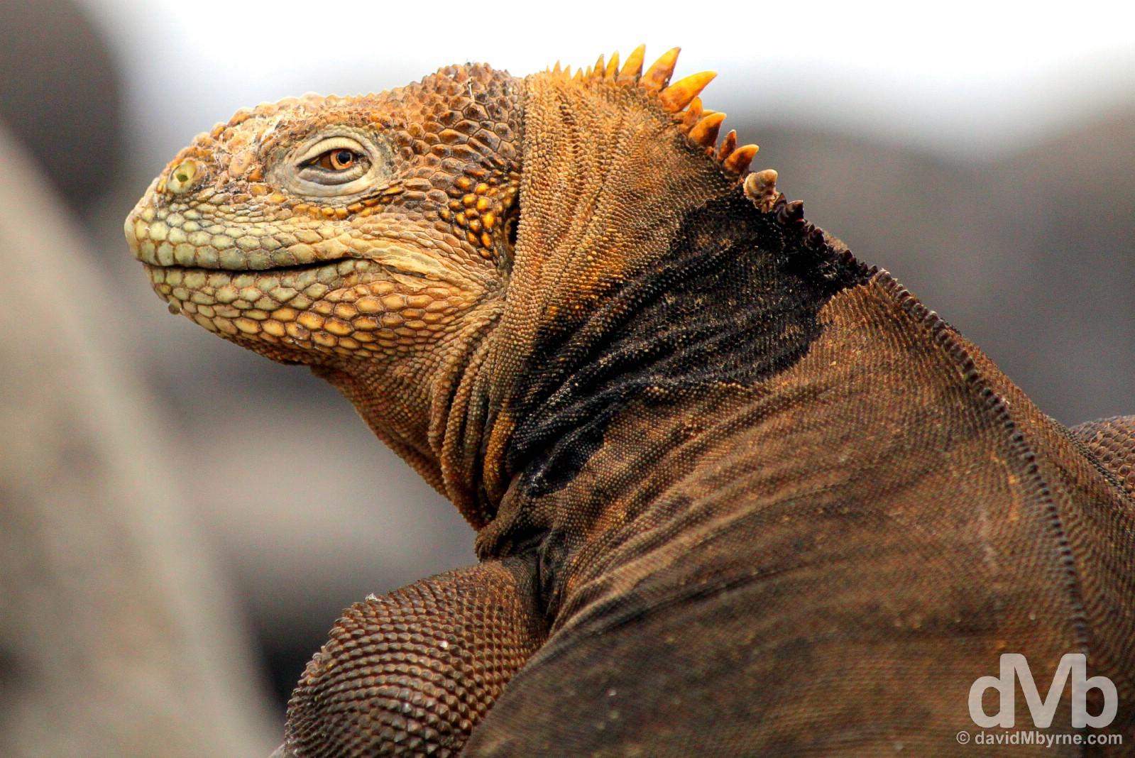 A Land Iguana on Isla Seymour Norte, Galapagos, Ecuador. July 18, 2015.