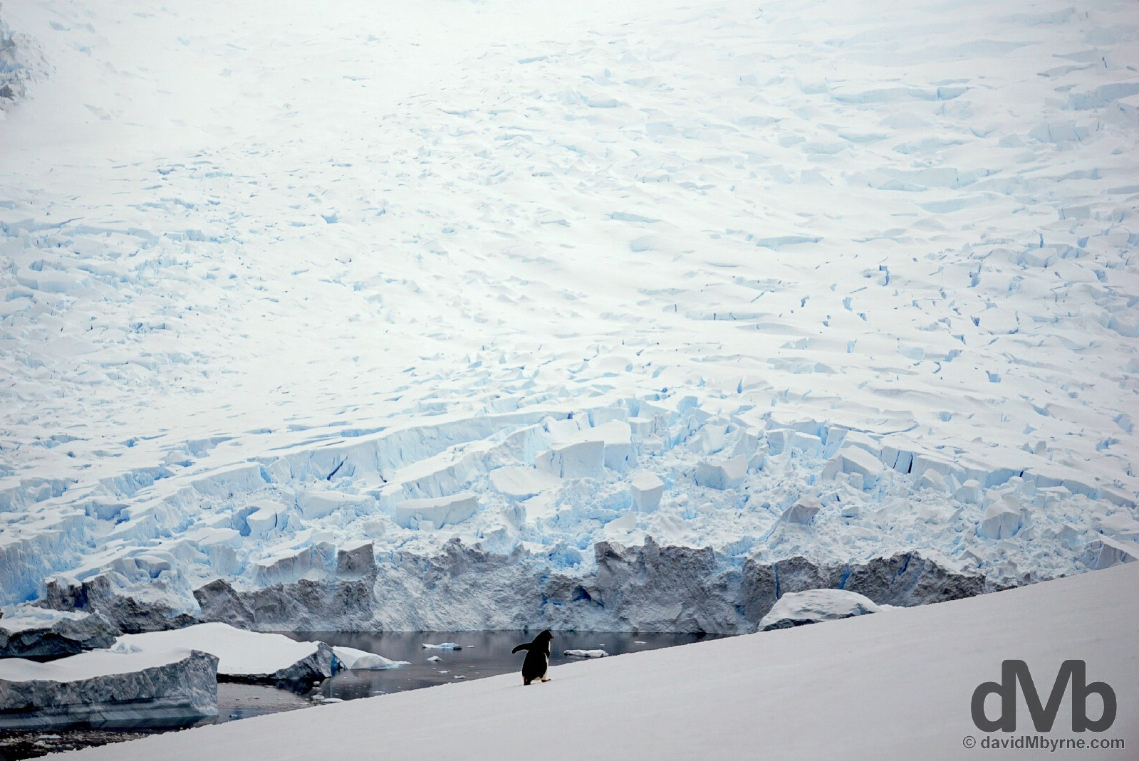 A lone gentoo penguin heading uphill set against the massive glaciers off Danco Island, Antarctica. December 2, 2015.