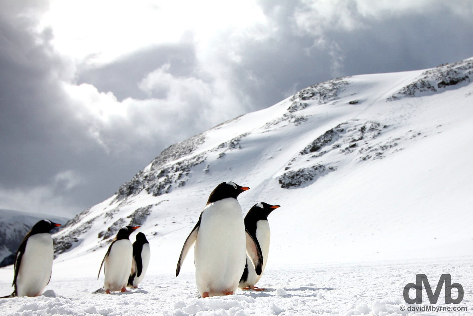 On the Penguin Highway on Cuverville Island, Antarctic Peninsula. December 1, 2015.