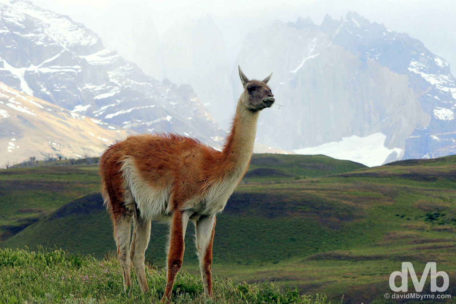 A guanaco, a wild llama, in Torres del Paine National Park, Chile. November 24, 2015.