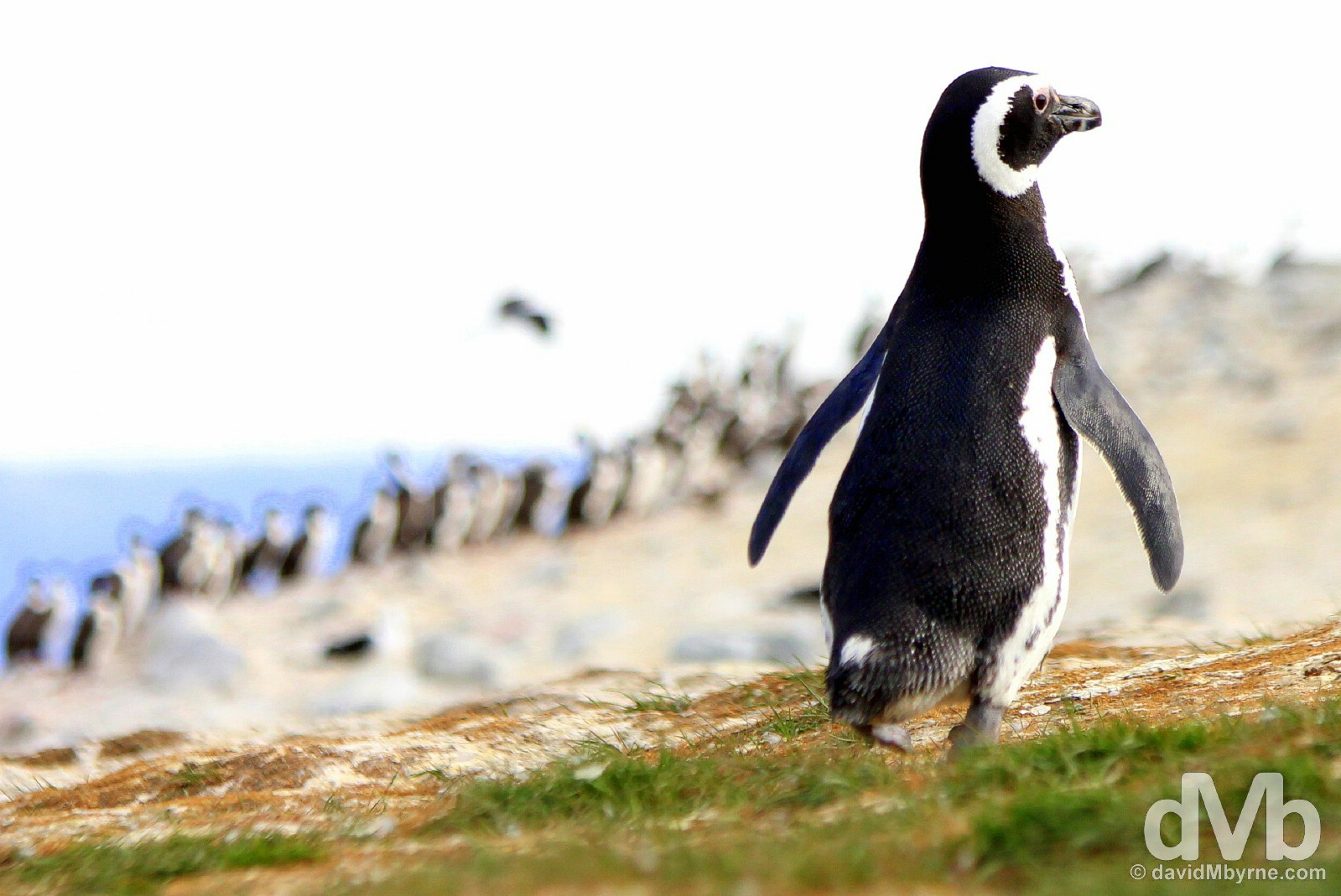 A Magellanic penguin on Isla Magdalena in the Magellan Strait, Chile. November 10, 2015.