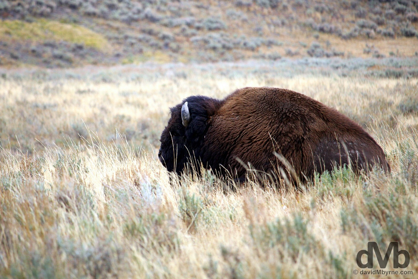 Bison in Hayden Valley, Yellowstone National Park, Wyoming, USA. September 5, 2016.