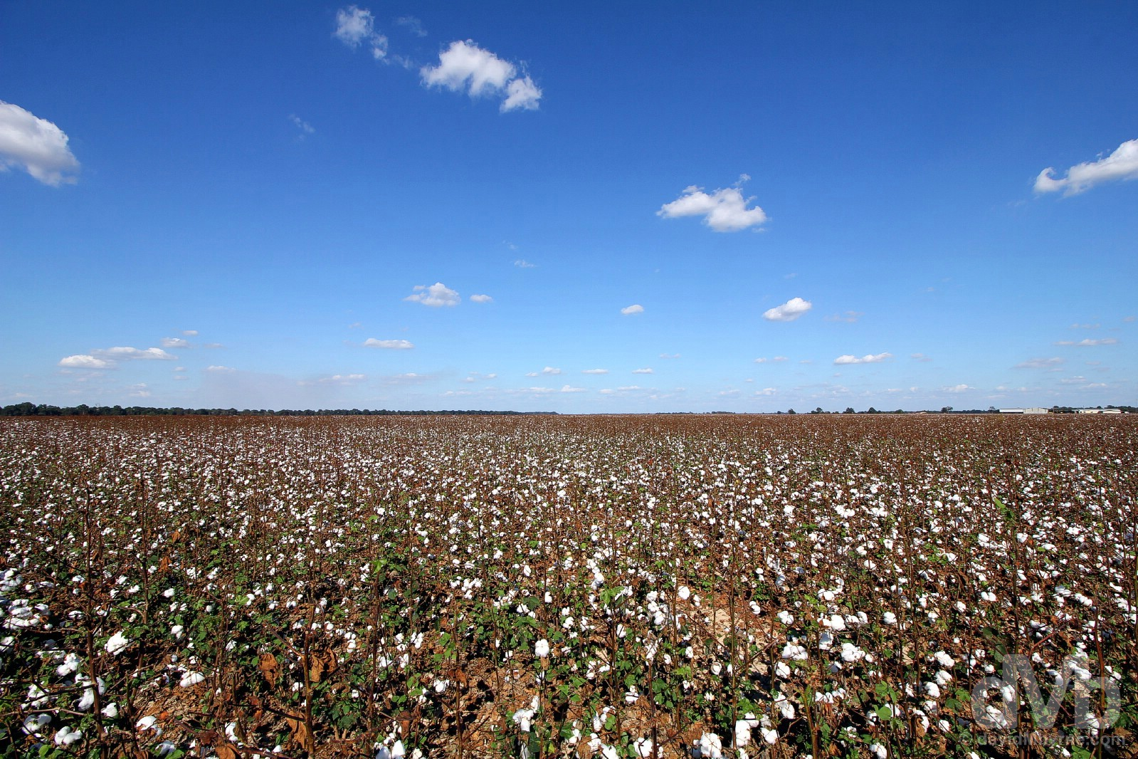 Endless cotton fields of the Mississippi Delta, USA. September 19, 2016.