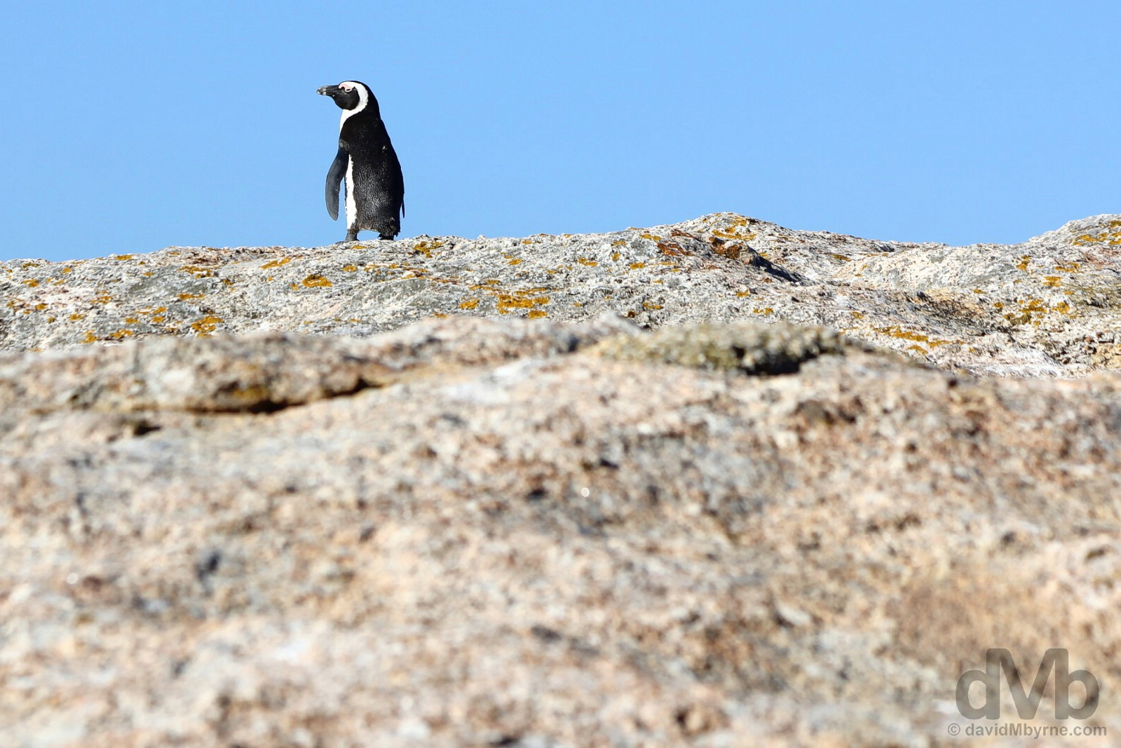 A lone African Penguin on the rocks of Boulders Beach on the shores of False Bay, Cape Peninsula, Western Cape, South Africa. February 17, 2017.