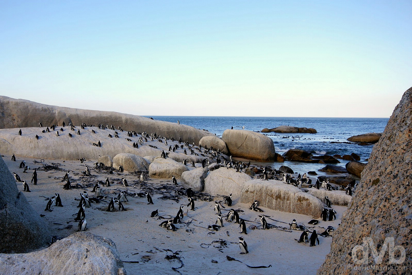 An African Penguin colony on Foxy Beach on the shores of False Bay, Cape Peninsula, Western Cape, South Africa. February 17, 2017.
